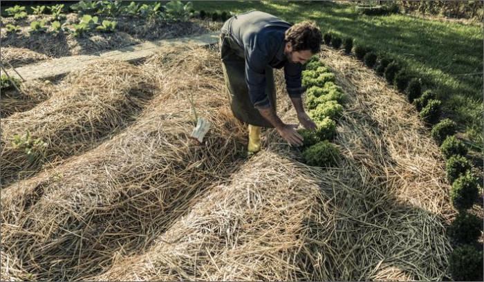 Мульчирование дает влагу, богатый урожай и защищает от сорняков